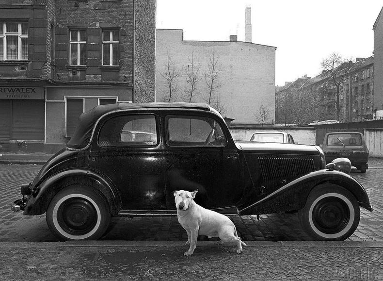 Роки нэрт Булл Терьер 1936 оны Мерседесийн хажууд