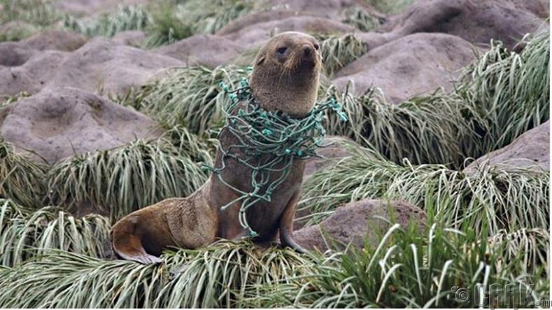 Жил бүр хэдэн зуун далайн арслан ингэж амиа алддаг
