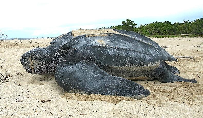 """""""Leatherback"""" яст мэлхий устахаас аврагдав"""