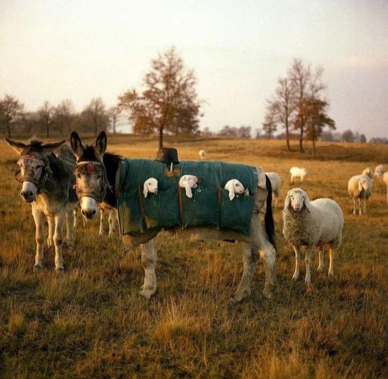 Бэлчээр дээр төрсөн хургануудыг авч явахад зориулсан илжигний нэмнээ