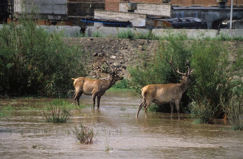 Дунд гол руу орж ирсэн буга - Улаанбаатар