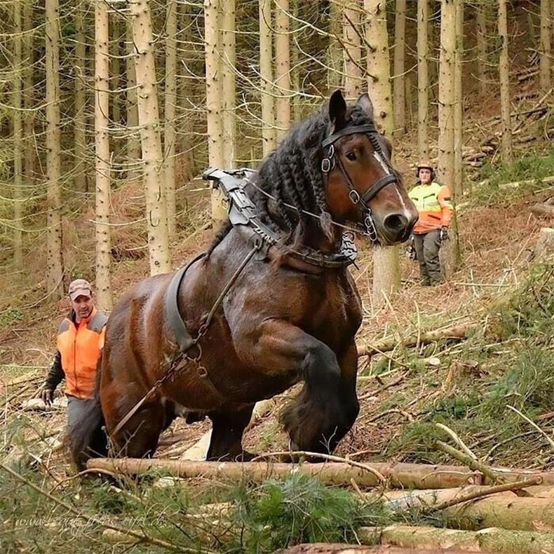 Танк шиг хүчтэй морь.