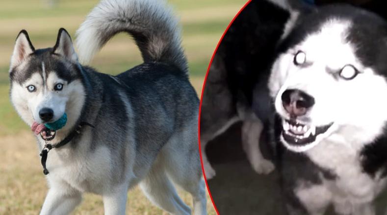 Хамгийн аюултай 10 нохойны үүлдэр