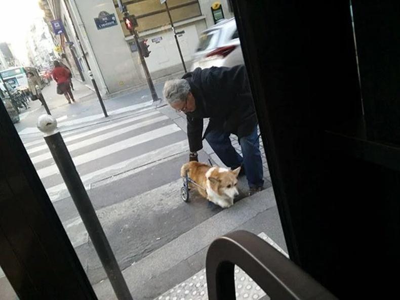 Саа өвчтэй Корги нохойг замын хашлага руу авирахад нь тусалж буй хүн.