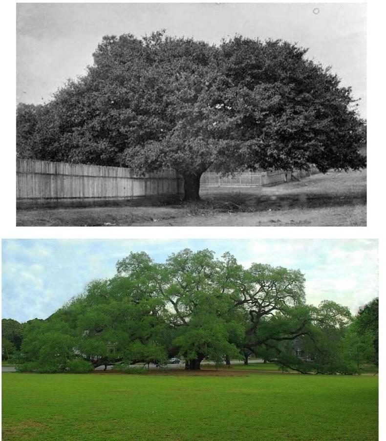 Жоржиа мужийн Томасвиллийн Том царс мод - 1895 болон 2020 онд