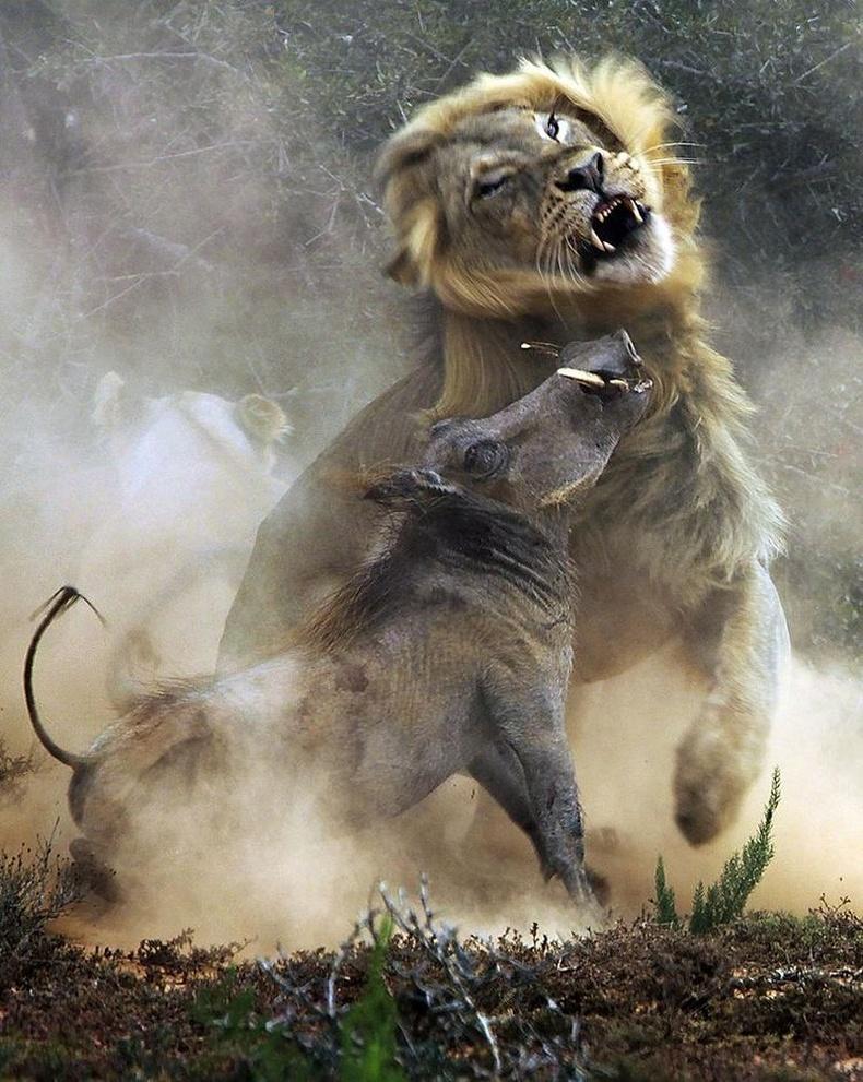 Зэрлэг гахай амархан олз биш гэдгээ арсланд харуулжээ
