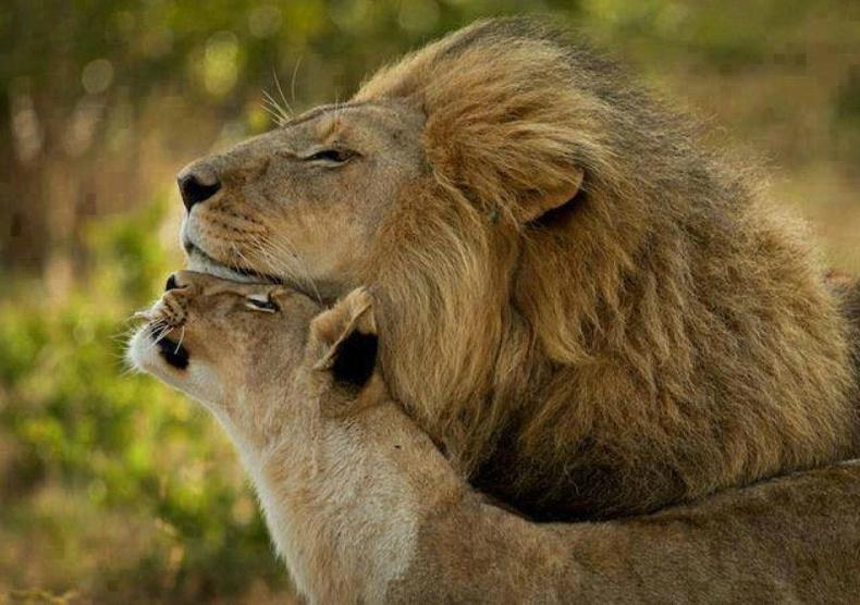 Эрслэн арслангаас илүү их ан хийдэг