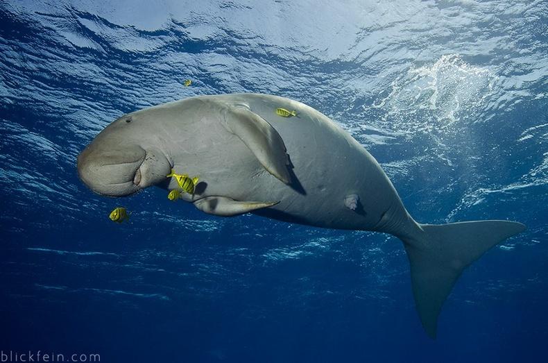 Дугонг буюу далайн үнээ (Dugong dugon)