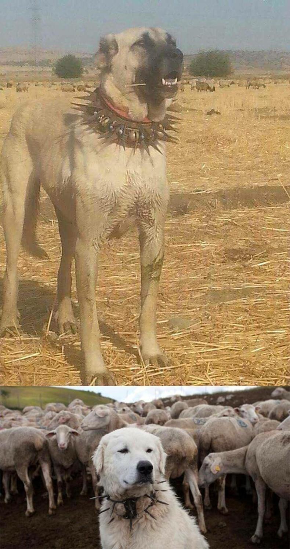 Чононд бариулахаас сэргийлэхийн тулд хоньч нохойд ийм хүзүүвч зүүж өгдөг