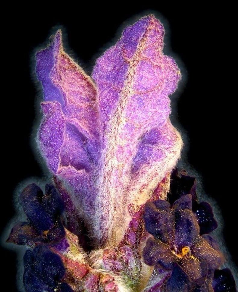 Лаванда цэцэг