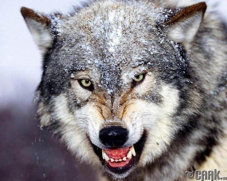 Бор саарал чоно