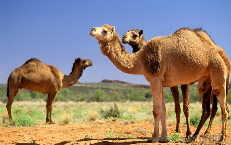 Саудын арабчууд Австралиас элс болон тэмээ импортолдог