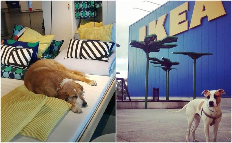 """""""IKEA""""-ийн дэлгүүрт өвөлжсөн эзэнгүй ноход олны хайрыг татжээ"""