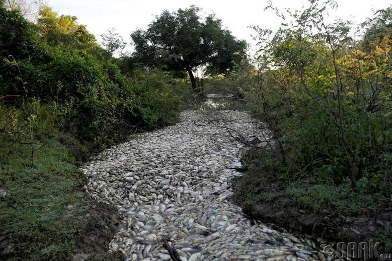 Парагвай дахь Конфузо голын загаснууд нэг шөнийн дотор ингэж хорогджээ
