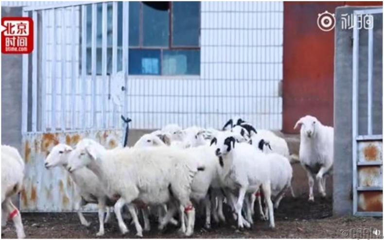 Педометр буюу алхаа хэмжигчтэй хурга