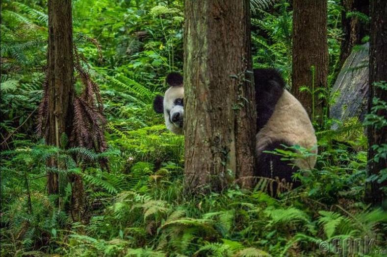 Хятадын үндэсний цэцэрлэгт хүрээлэн дэх хулсны баавгай