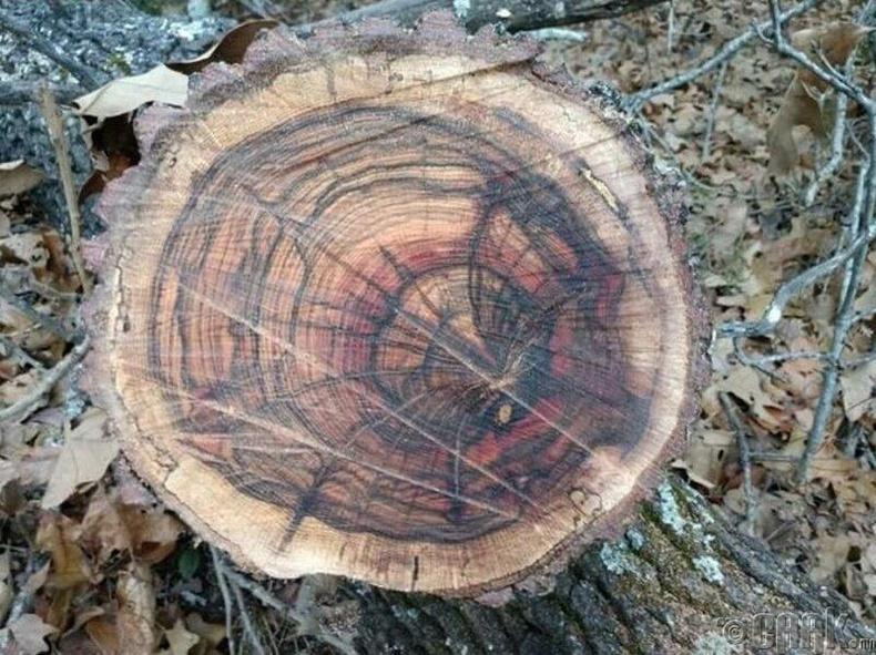 Аалз хэлбэртэй модны цагираг