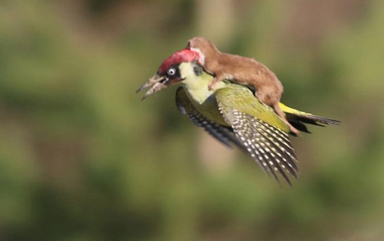 Шувуу хөлөглөсөн мэрэгч