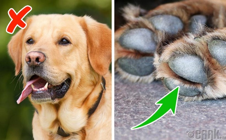Бид бодохдоо: Нохой халууцаж, хөлрөхөөрөө хэлээ унжуулж сэрүүцдэг