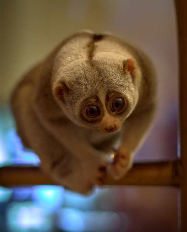 Удаан Лорис сармагчин (Nycticebus)