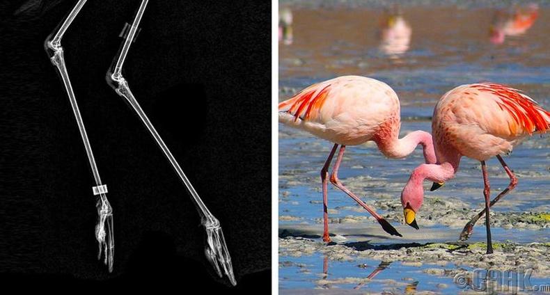Фламинго шувуу