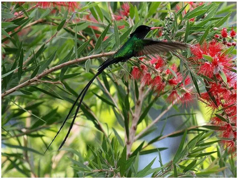 """Ямайкын үндэсний бэлгэдэл """"Эмч шувуу"""" нь ганцхан тус оронд л байдаг"""