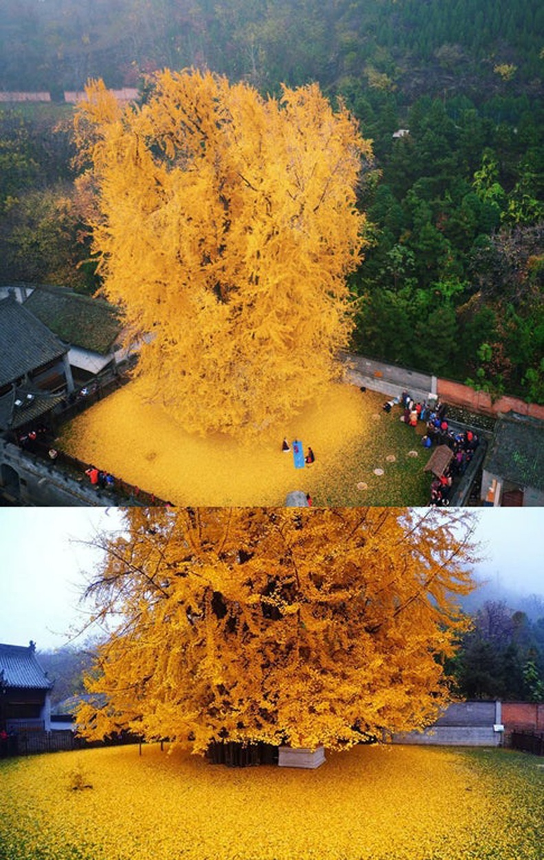 1400 жилийн настай мод