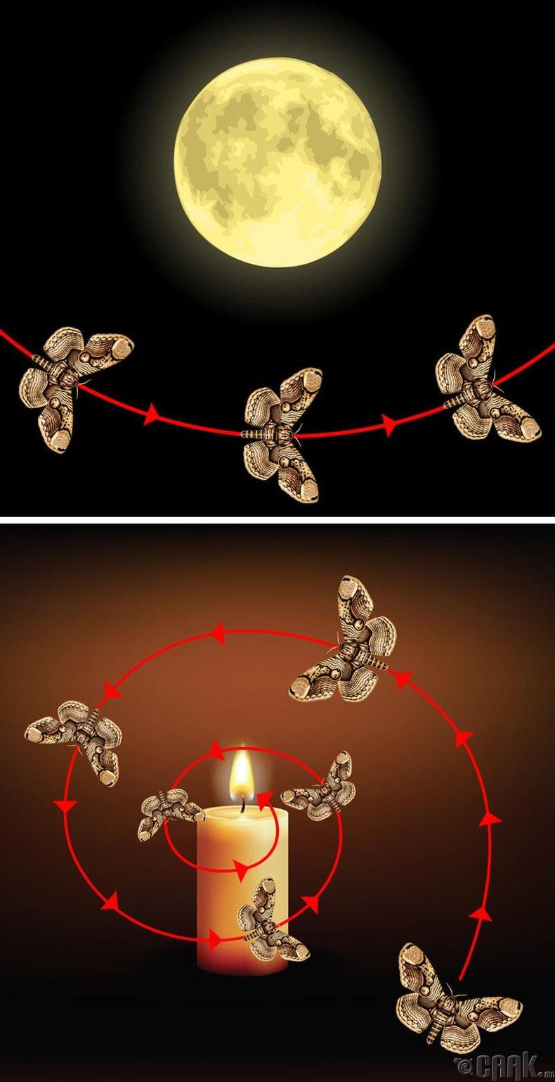 Шавжууд яагаад гэрэл рүү нисдэг вэ?