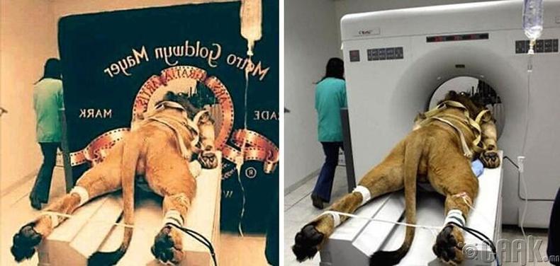 """""""MGM""""-ийн арслан үнэндээ ЭХО-нд харуулж байгаа арслан байжээ."""