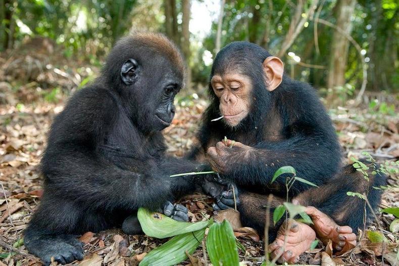 Гориллын монш шимпанзегийн монштой хамт