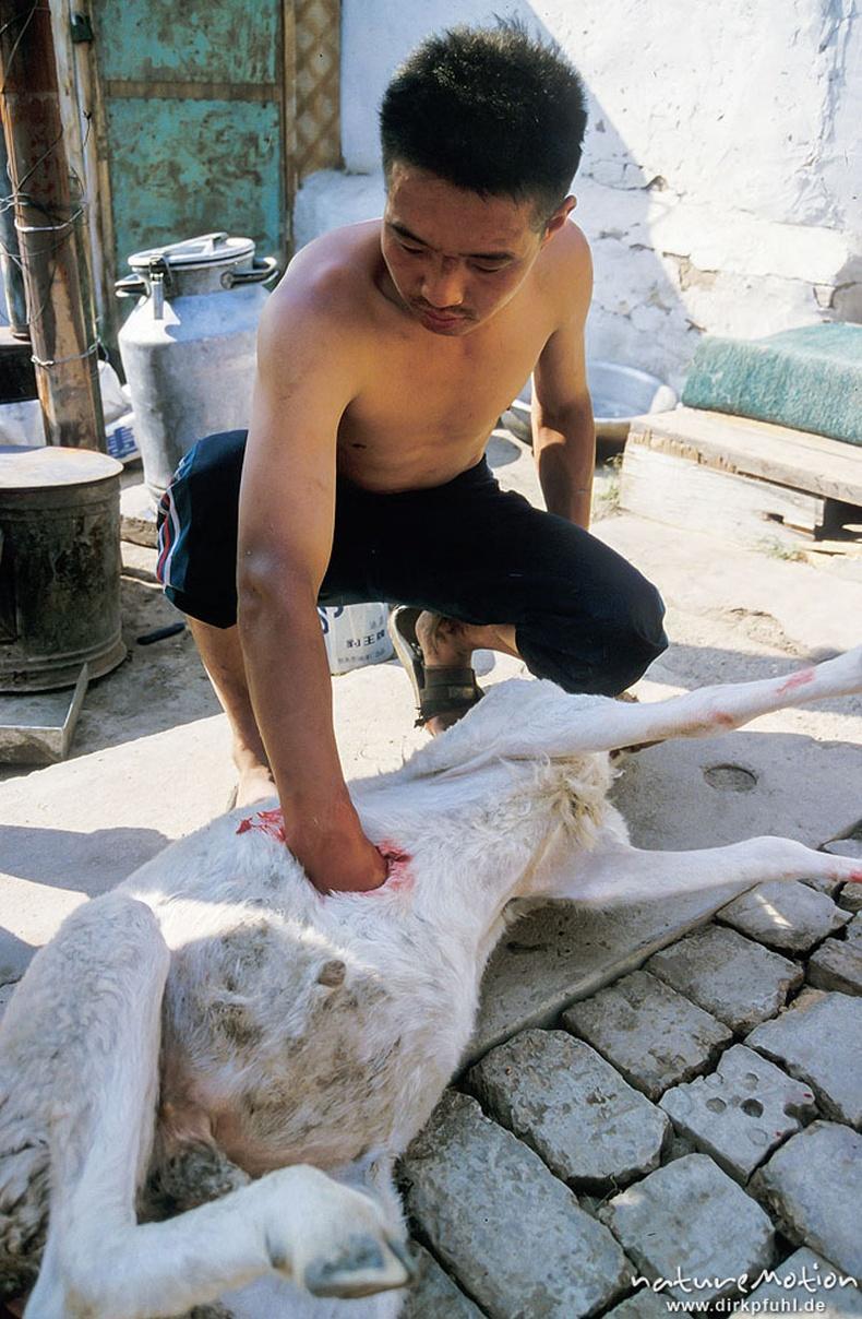 Хонь гаргаж буй нь - Улаанбаатар