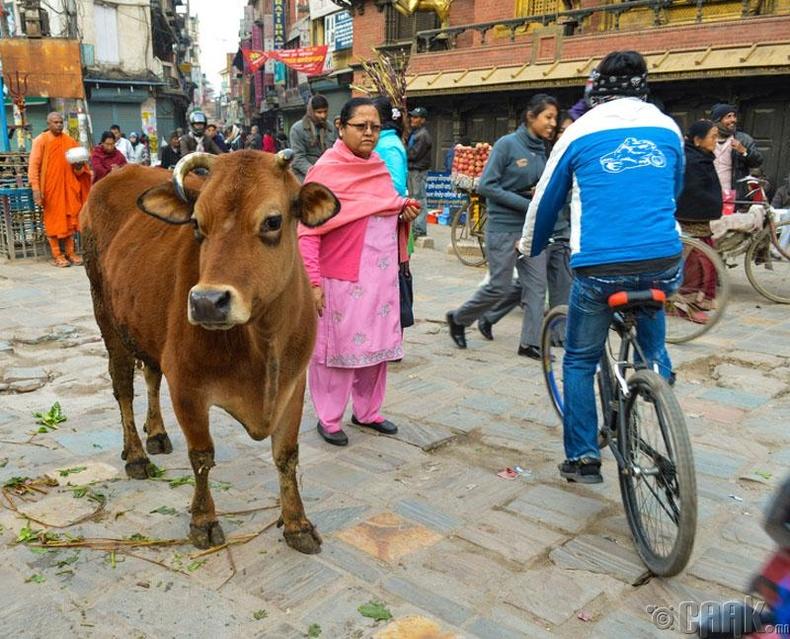 Энэтхэгийн нэгэн адил үхрийг ариун нандин амьтан гэж тооцдог