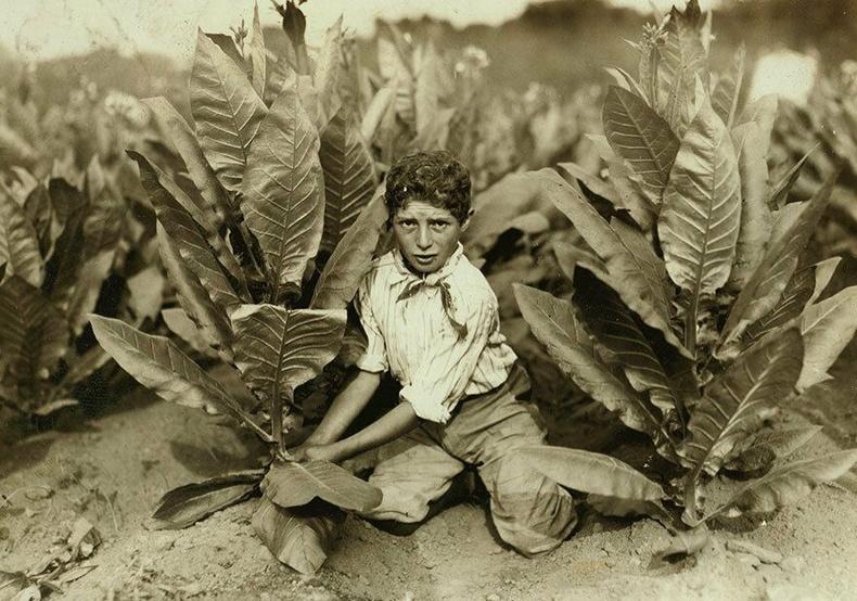 10 настай хүү, Коннектикут муж - Тамхины ургамлын хураалт