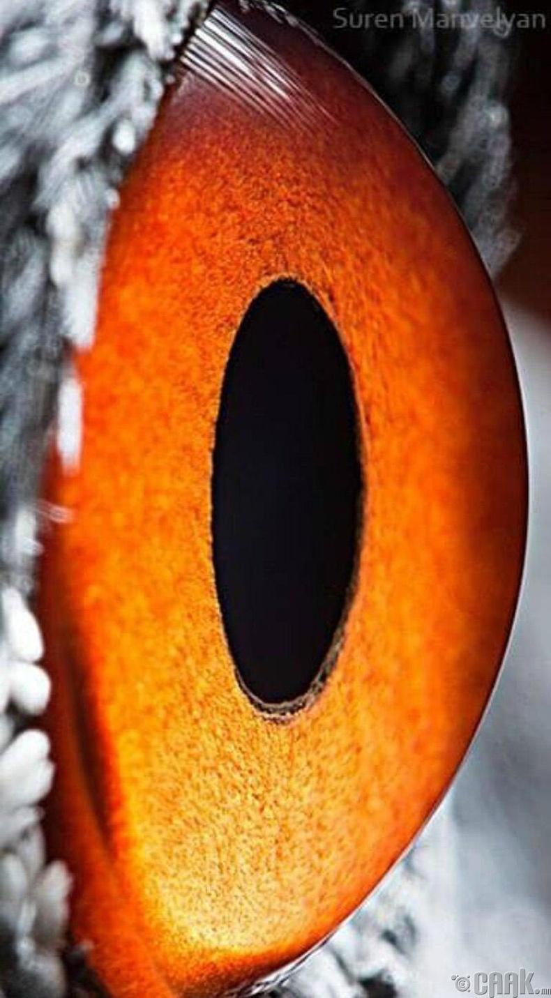 Дэглийний хурц нүд усан доорх загасыг харж чадна