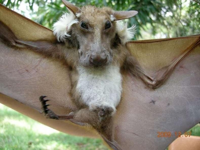Африкийн жимсний багваахай (Epomops buettikoferi)