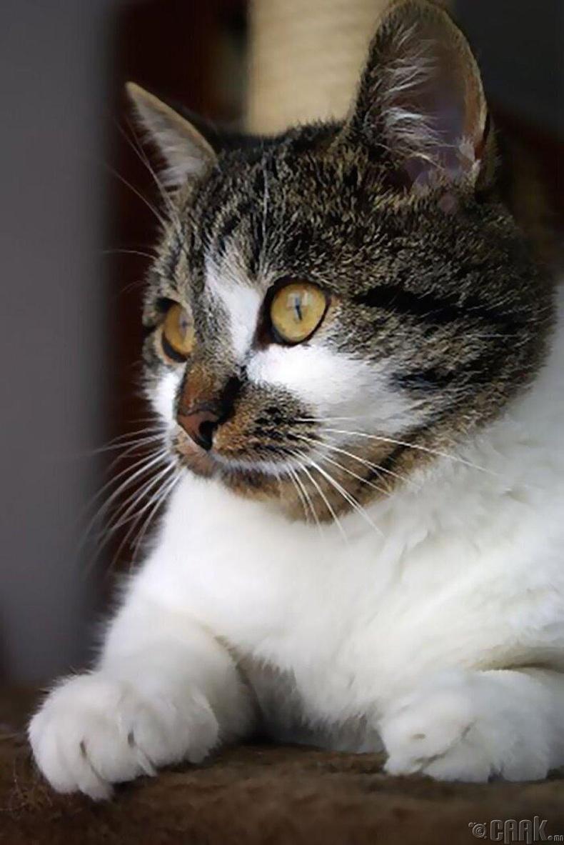 Хүний харшилтай муур гэж байдаг