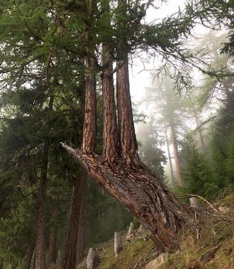 Нарс модны хожуул өөрөөсөө 3 мод төрүүлжээ