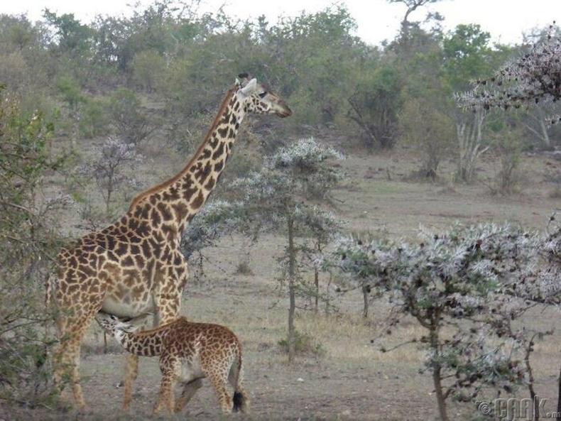 Анааш төрөхдөө 1.8 метр өндөртэй байдаг