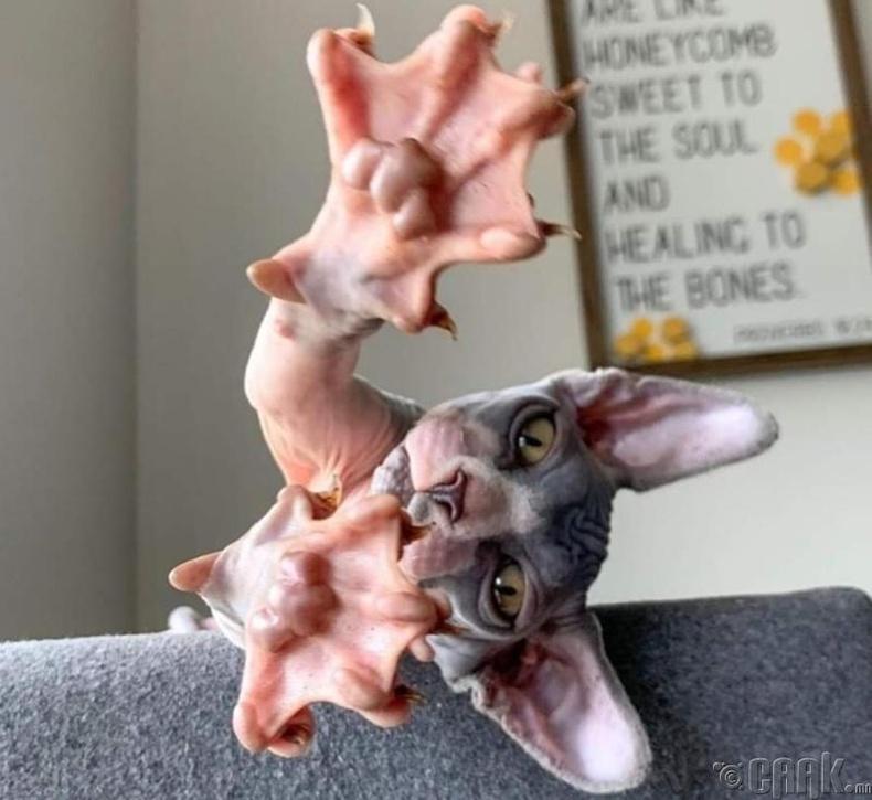 Муурын савар үнэндээ ийм хэлбэртэй байдаг