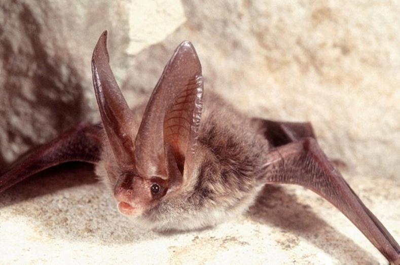 Рафинескийн дэлдэн чихт (Corynorhinus rafinesquii)