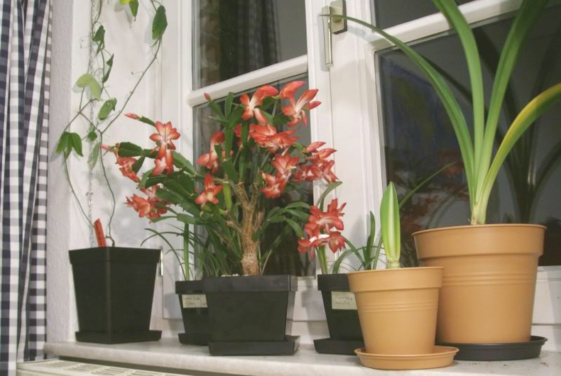 Гэртээ тарьж болохгүй 7 цэцэг