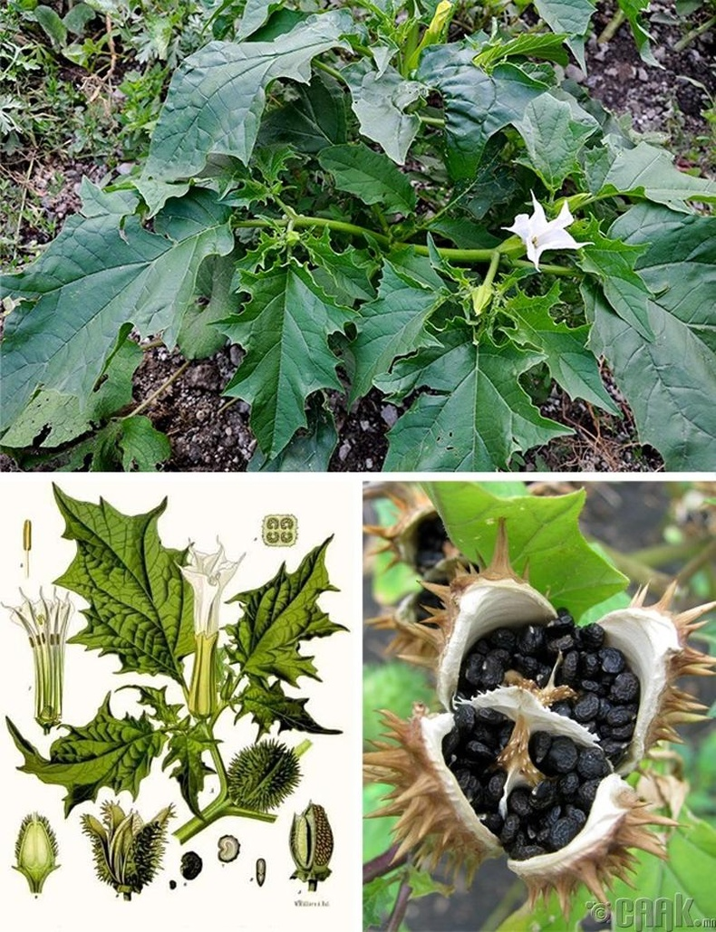 Жимсонвийд (Jimsonweed)