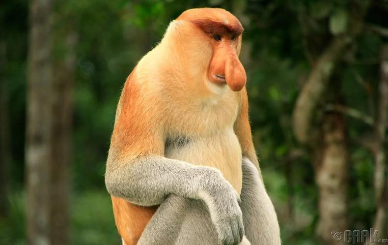 Урт хамарт сармагчин