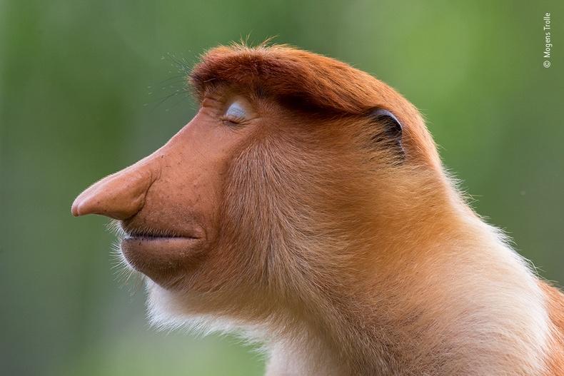 Урт хамарт эрэгчин сармагчин, Могенс Тролле
