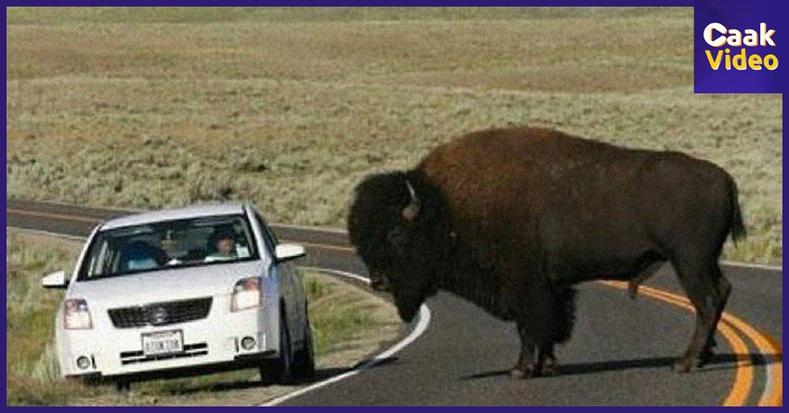 Таны бодсоноос илүү том биетэй 15 амьтан