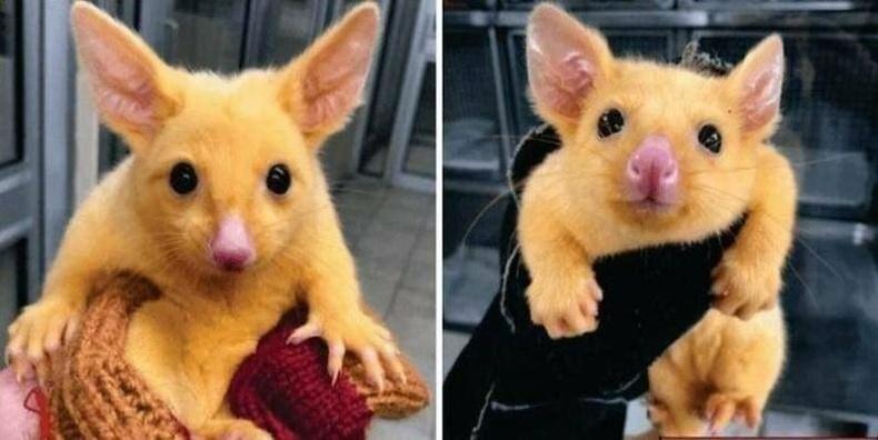 Австралийн мал эмнэлэг поссум хэмээх энэхүү амьтныг аварчээ. Түүнийг Пикачү хэмээн нэрлэсэн аж.