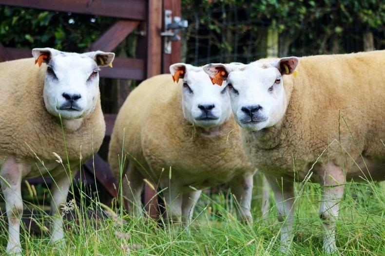Белтекс хонь