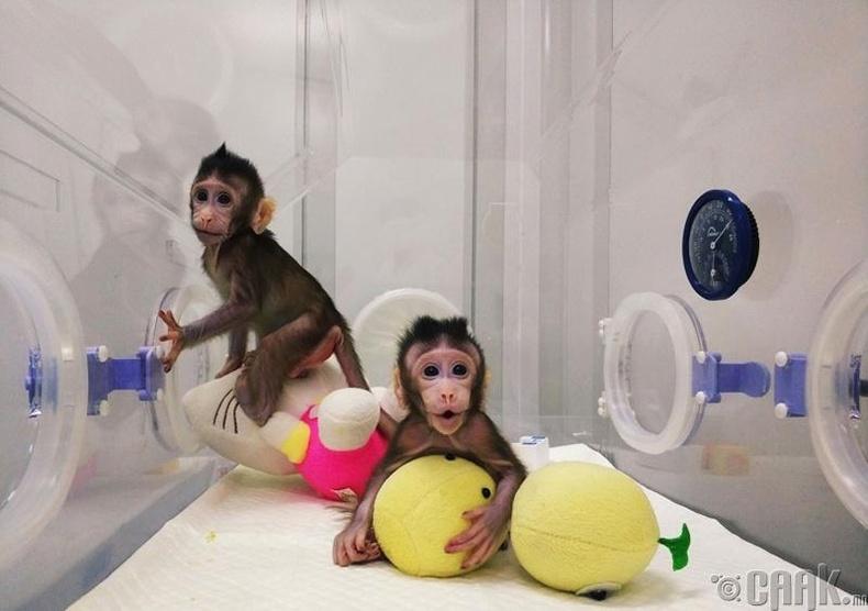 Хятадын эрдэмтэд сармагчинг клоны аргаар хувиллаа