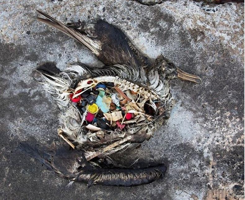Хог идэж үхсэн шувуу