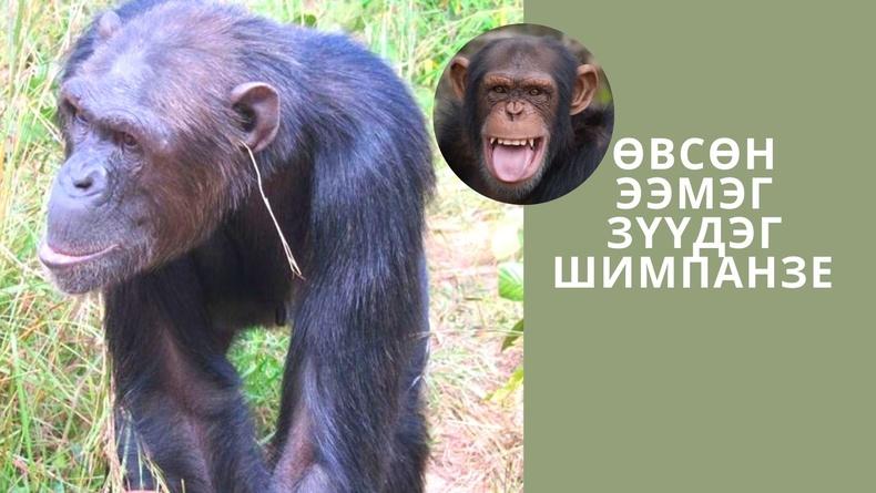 Хүний өвөг дээдэс гэгддэг сармагчин ч бас гоёл чимэглэлд дуртай болж таарчээ